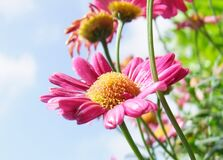 Pink Long and Layered Petaled Flower during Daytime Royalty Free Stock Photography