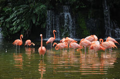 Pink long legs flamingo birds in a pond. The birds are originate in Latin America and standing on the pond in the sunny day Stock Photography