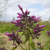 Pink Loosestrife(Lythrum Salicaria) Royalty Free Stock Photo