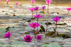Pink lotos on the water. In sri lanka Royalty Free Stock Photography