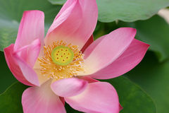 Pink Lotus. In Queen Sirikit Park, Thailand Stock Photography