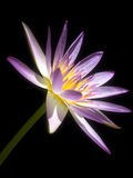 Pink Lotus. On black background Royalty Free Stock Photography