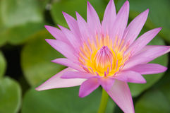Pink lotus Royalty Free Stock Photo