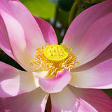 Pink Lotus. Or pink water lily in Thailand Royalty Free Stock Images