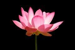 Free Pink Lotus Stock Photography - 16731822