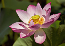 Pink lotus. In a water garden Royalty Free Stock Images