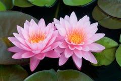 Pink lotus. Stock Image