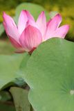 Pink Lotus. Close up shot of pink lotus Royalty Free Stock Photos