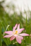 Pink lotus. Close up of pink lotus Royalty Free Stock Photo