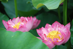 Pink lotus 2 Stock Photos