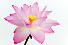 Pink lotus. Flower and white background. The lotus is national flower for India. Lotus flower is a important symbol in Asian culture Royalty Free Stock Photos