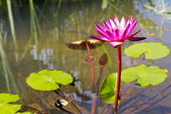 Pink lotus Stock Photos
