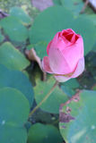 Pink lotus. The scientific name is Nelumbo nucifera Stock Photos