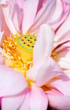 Pink Lotus. Closeup of a pink lotus flower royalty free stock photos