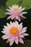 Pink lotus Stock Image