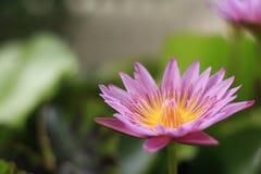 Pink lotus. Used to worship the Buddha Stock Image