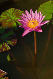 The pink lotus Royalty Free Stock Photography