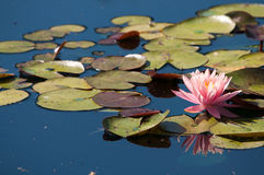 Pink lotus. A pink lotus blooms on the water Stock Image