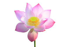 Pink lotus Stock Images