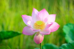 Pink Lotus. In gentle wind Stock Photography