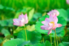 Pink Lotus. In gentle wind Royalty Free Stock Image