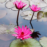 Pink Lotus. On the river Royalty Free Stock Photography