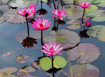 Pink Lotus. On the River Stock Photo