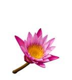 Pink lotus. The best of thai pink lotus Royalty Free Stock Photography