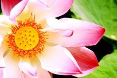 Free Pink Lotus Stock Image - 3436501