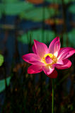Pink lotus. On a sunny day stock photos