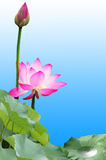 Pink lotus. Blooming pink red water lilies Royalty Free Stock Images