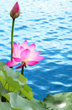 Pink lotus. Blooming pink red water lilies Stock Images