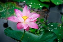 Free Pink Lotus Stock Image - 75442141