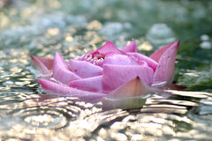 Pink lotus amid the rapids Stock Images