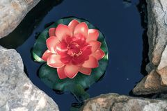 Pink Lotus in an artificial pond close-up stock images