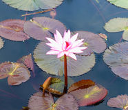 Pink Lotus. Background Royalty Free Stock Photo