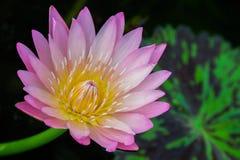 pink lotus Stock Images