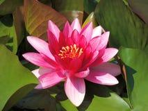Pink Lotus. A beautiful pink Lotus in bloom Royalty Free Stock Photos
