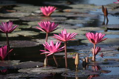 Pink lotus Royalty Free Stock Photos