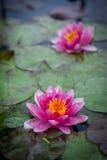 Pink Lotus Royalty Free Stock Photography