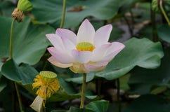 Pink Lotus Royalty Free Stock Image