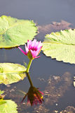 The pink lotus Stock Images