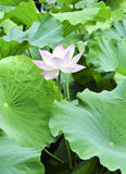 Pink lotus with bee. A blooming lotus flower among green leaves attracts a bee Royalty Free Stock Photography