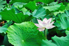 Pink lotus with bee. A blooming lotus flower among green leaves attracts a bee Stock Photography