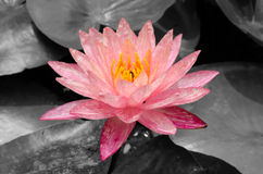 Pink lotus with a bee on black and white pond Royalty Free Stock Photography