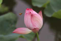 A pink lotus Stock Images
