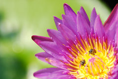 Pink lotus with bee. In the garden Royalty Free Stock Image