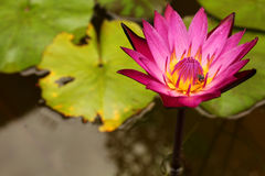 Pink lotus Stock Photo