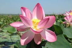 Pink lotus Royalty Free Stock Photo