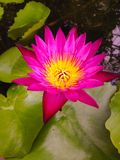 Pink lotus. Bloom Royalty Free Stock Photography